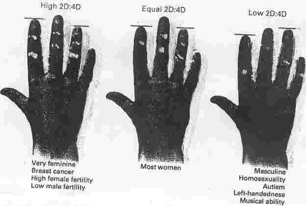 finger size testosterone estrogen